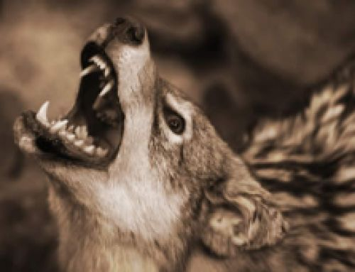 Coyote Attacks On People