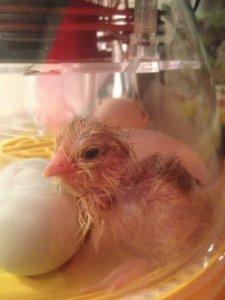 Newly hatched Ameraucana Chick