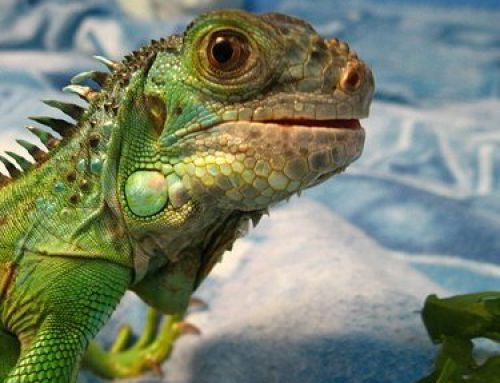 Reptiles as Survival Food